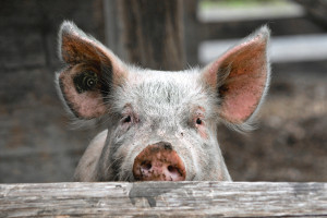 glückliches Schwein im Außengehege schaut über den Zaun in die Kamera